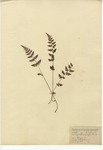 Brittle Fern, Fragile Fern