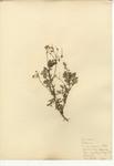 Alfilaria, Red-stemmed Filaree